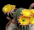 Freaky Flowers: Echinopsis Cacti in Bloom